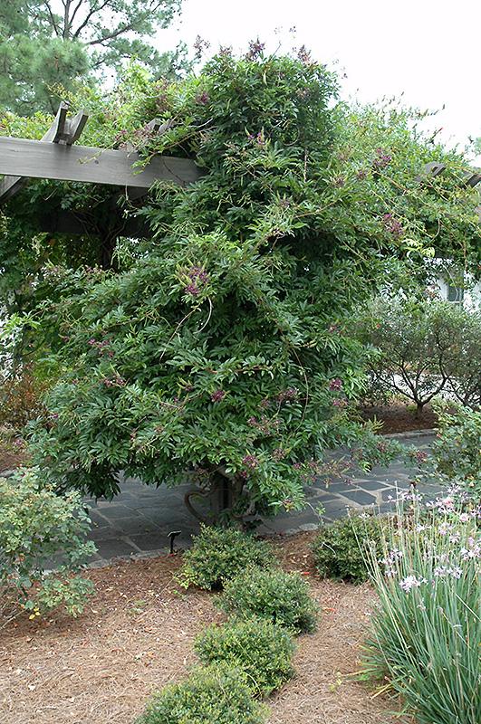Chinese Evergreen Wisteria (Millettia taiwanensis) at All Seasons Nursery