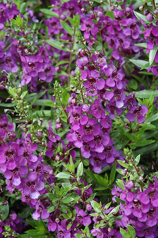 Archangel Dark Purple Angelonia (Angelonia angustifolia 'Archangel Dark Purple') at All Seasons Nursery