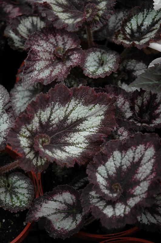 Jurassic Silver Swirl Begonia (Begonia 'Jurassic Silver Swirl') at All Seasons Nursery