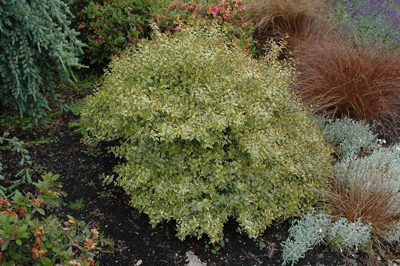 Sunrise Variegated Abelia (Abelia x grandiflora 'Sunrise Variegated') at All Seasons Nursery