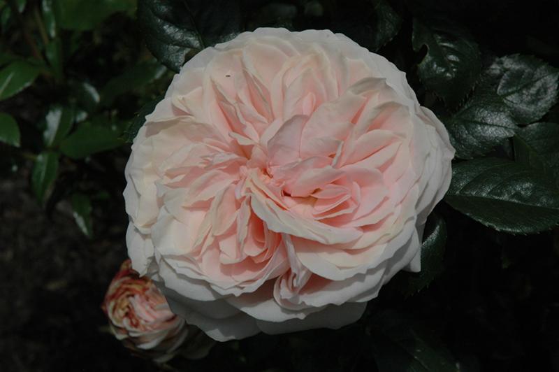Cream Veranda Rose (Rosa 'KORfloci01') at All Seasons Nursery