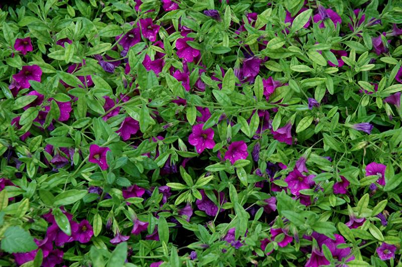 Superbells Garden Rose Calibrachoa (Calibrachoa 'Superbells Garden Rose') at All Seasons Nursery