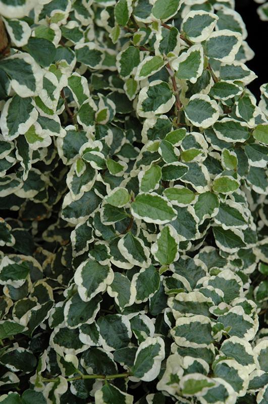 Variegated Creeping Fig (Ficus pumila 'Variegata') at All Seasons Nursery