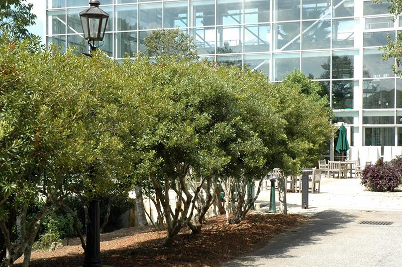 southern wax myrtle myrica cerifera tree form in