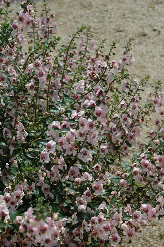 Archangel Light Pink Angelonia (Angelonia angustifolia 'Archangel Light Pink') at All Seasons Nursery