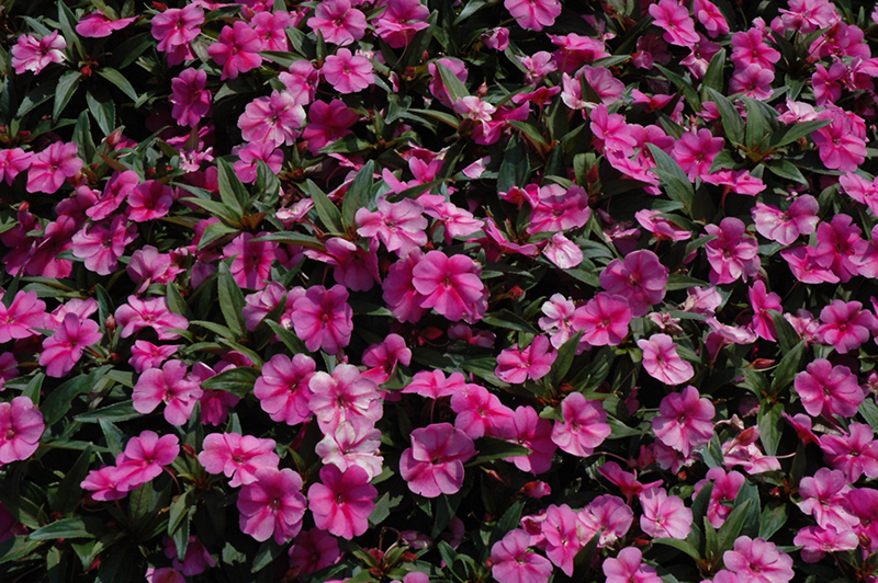 Bounce Pink Flame Impatiens (Impatiens 'Balboufink') at All Seasons Nursery