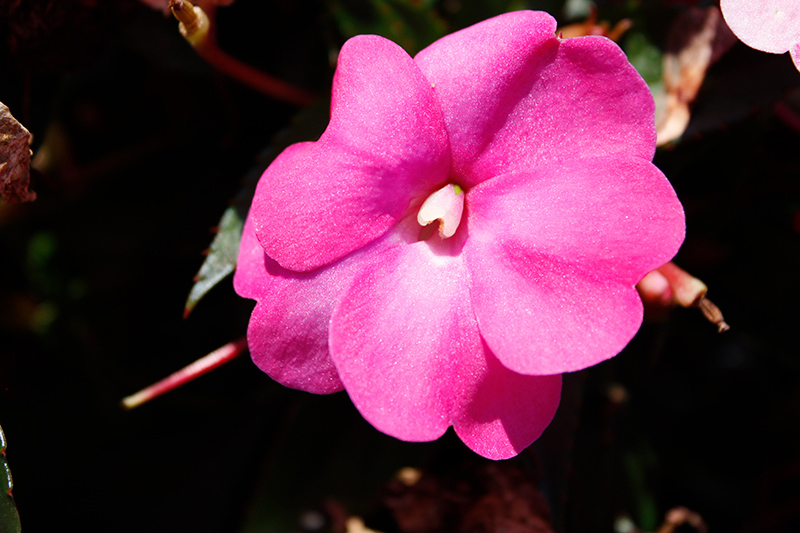 SunPatiens Compact Hot Pink New Guinea Impatiens (Impatiens 'SAKIMP061') at All Seasons Nursery