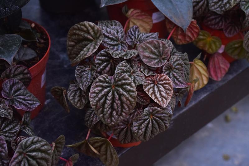 Peperomia (Peperomia caperata 'Theresa') at All Seasons Nursery