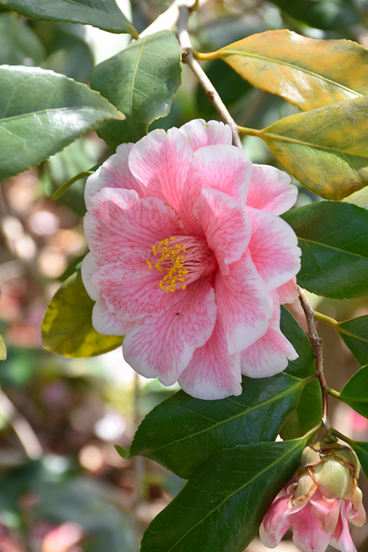 Lady Vansittart Camellia (Camellia japonica 'Lady Vansittart') at All Seasons Nursery
