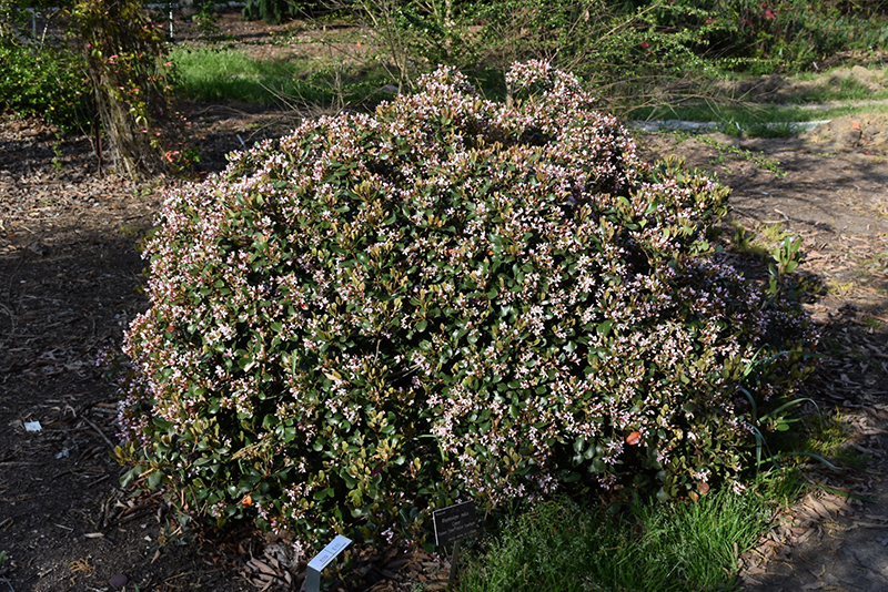 Eleanor Taber Indian Hawthorn (Rhaphiolepis indica 'Conor') at All Seasons Nursery