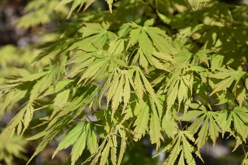 Omure Yama Japanese Maple (Acer palmatum 'Omure Yama') at All Seasons Nursery