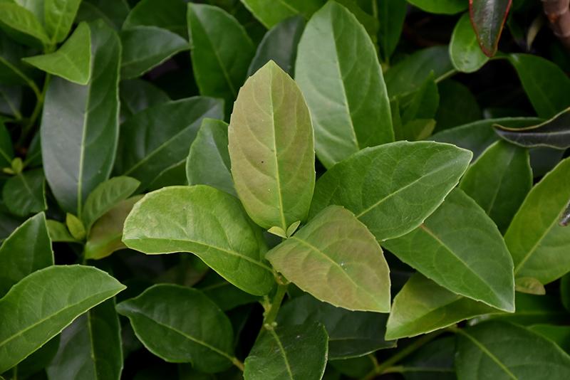 Sweet Viburnum (Viburnum odoratissimum) at All Seasons Nursery