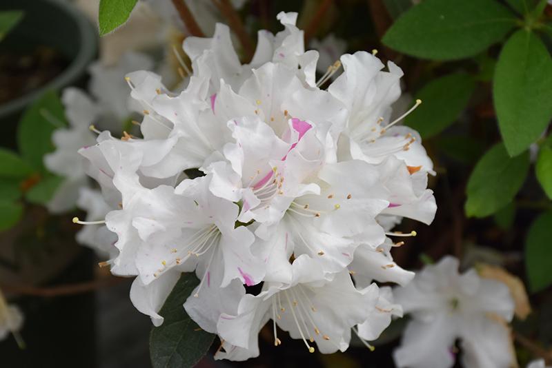 Encore Autumn Lily Azalea (Rhododendron 'Roblex') at All Seasons Nursery