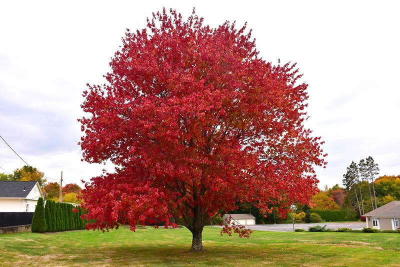 Red Maple (Acer rubrum) at All Seasons Nursery