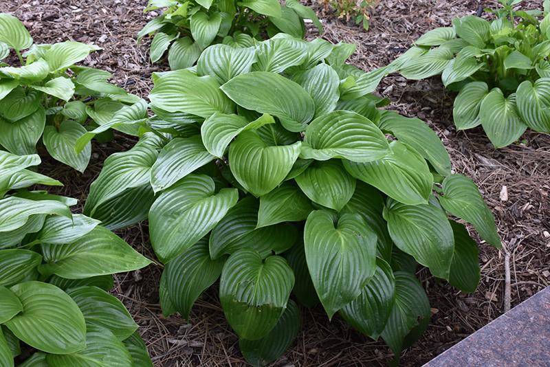 Plantain Lily Hosta Plantaginea In Lafayette Louisiana La At