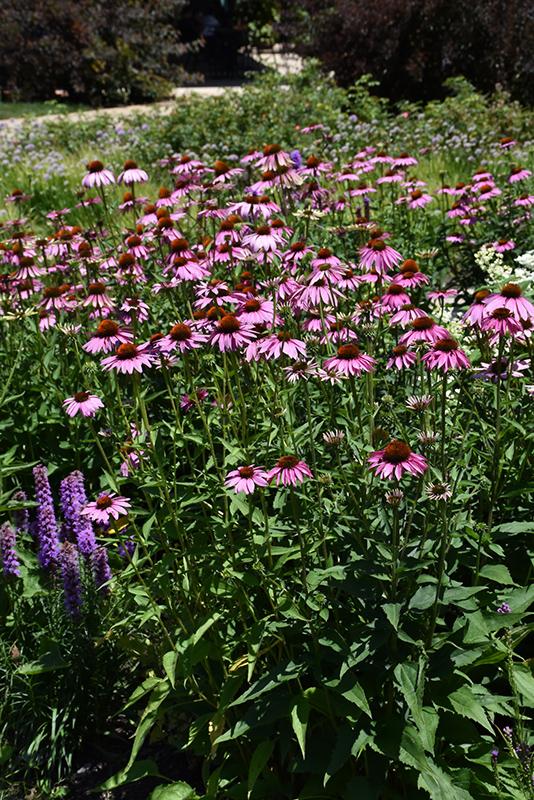 Magnus Coneflower (Echinacea purpurea 'Magnus') at All Seasons Nursery