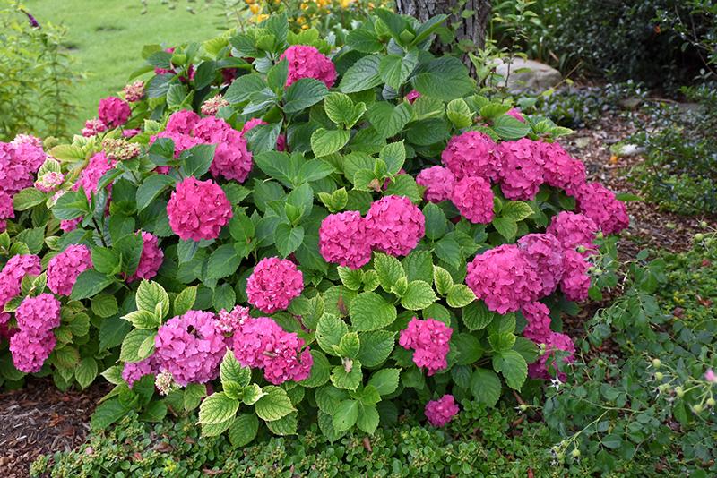 Let's Dance Rave Hydrangea (Hydrangea macrophylla 'SMNHMSIGMA') at All Seasons Nursery