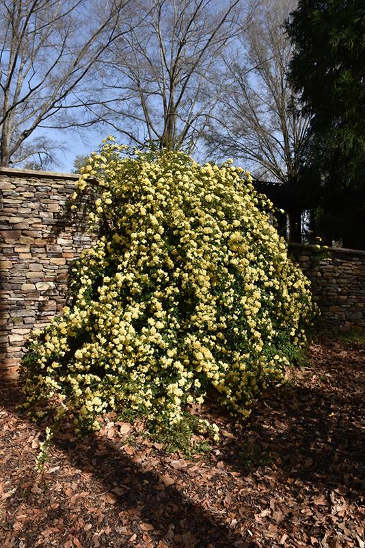 Lady Banks Rose (Rosa banksiae) at All Seasons Nursery