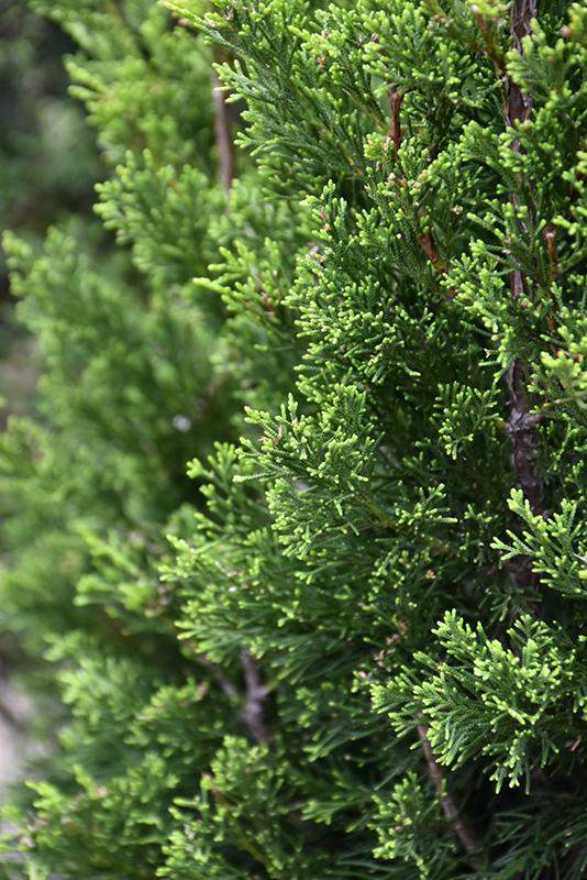 Brodie Redcedar (Juniperus virginiana 'Brodie') at All Seasons Nursery