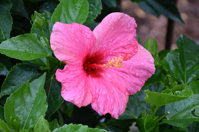 Cayman Wind Hibiscus Hibiscus Rosa Sinensis Cayman Wind In