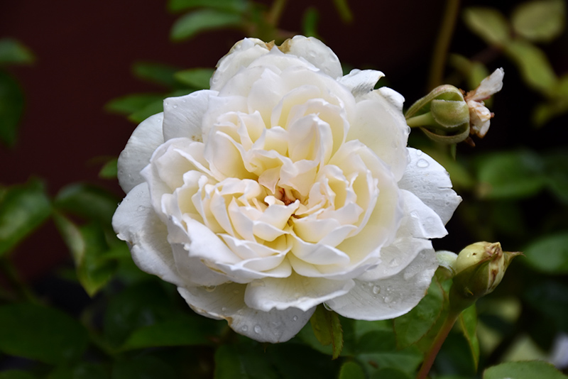 Bolero Rose (Rosa 'Meidelweis') at All Seasons Nursery