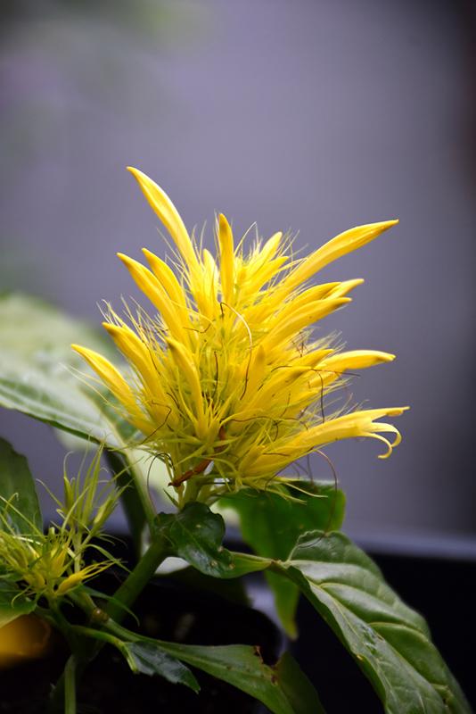 Yellow Jacobinia (Justicia aurea) at All Seasons Nursery