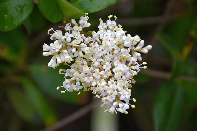 Texanum Japanese Privet (Ligustrum japonicum 'Texanum') at All Seasons Nursery