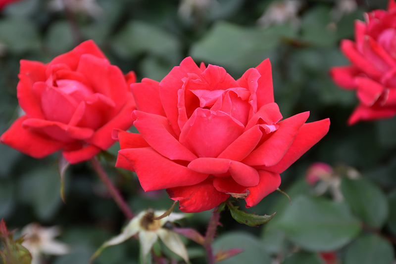 Double Knock Out Rose (Rosa 'Radtko') at All Seasons Nursery