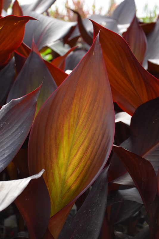 Bronze Water Canna (Canna 'Australia') at All Seasons Nursery