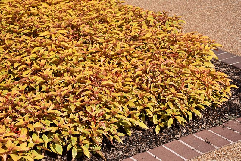 Garden Bush: Lime Sizzler™ Firebush (Hamelia Patens 'Grelmsiz') In