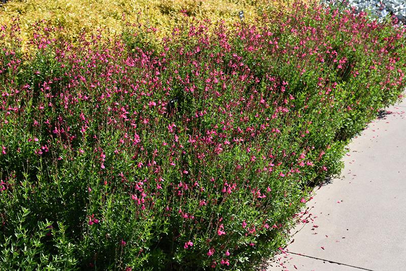 Pink Autumn Sage (Salvia greggii 'Pink') at All Seasons Nursery