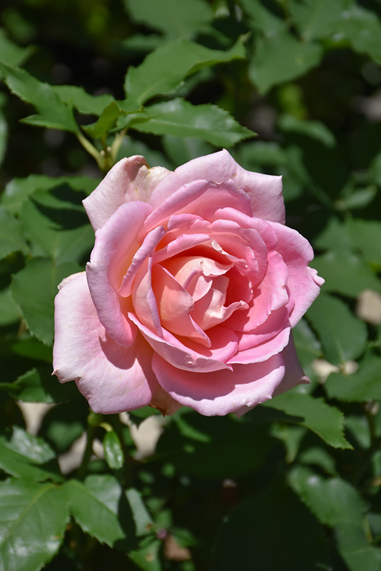Tiffany Rose (Rosa 'Tiffany') at All Seasons Nursery
