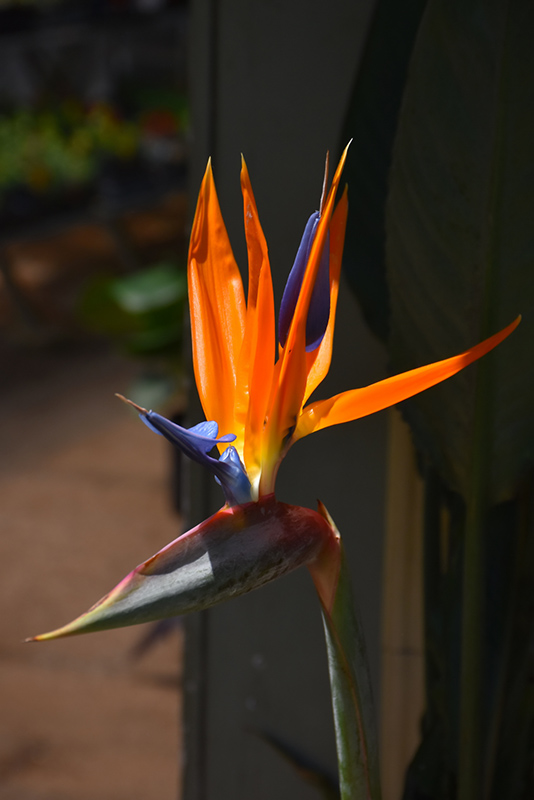 Orange Bird Of Paradise (Strelitzia reginae) at All Seasons Nursery