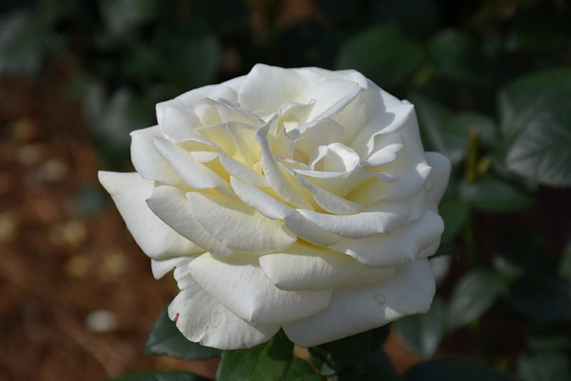 Sugar Moon Rose (Rosa 'WEKmemolo') at All Seasons Nursery