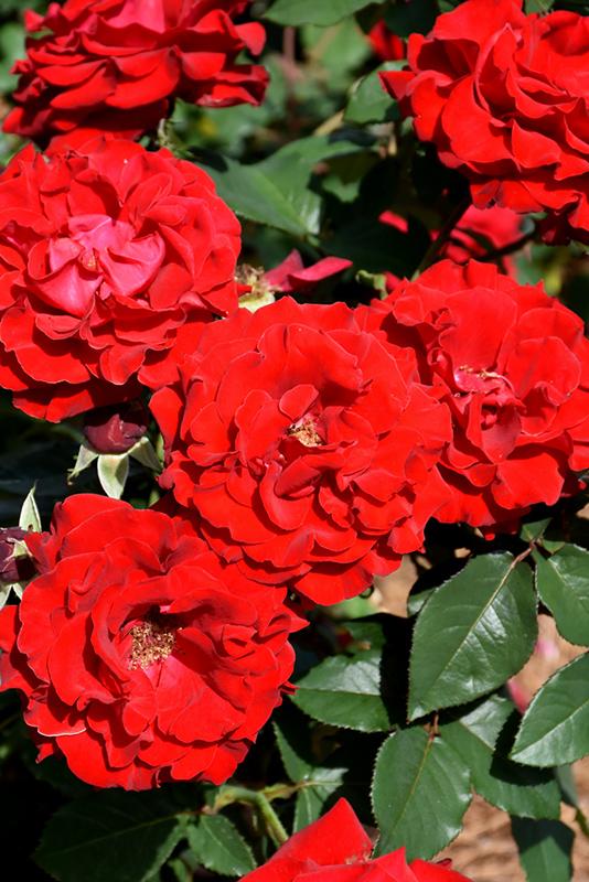 Oh My! Rose (Rosa 'WEKcisfribo') at All Seasons Nursery