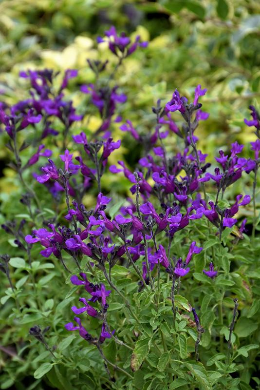 Vibe Ignition Purple Sage (Salvia x jamensis 'Ignition Purple') at All Seasons Nursery