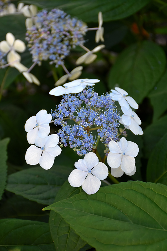 Bluebird Hydrangea (Hydrangea serrata 'Bluebird') at All Seasons Nursery