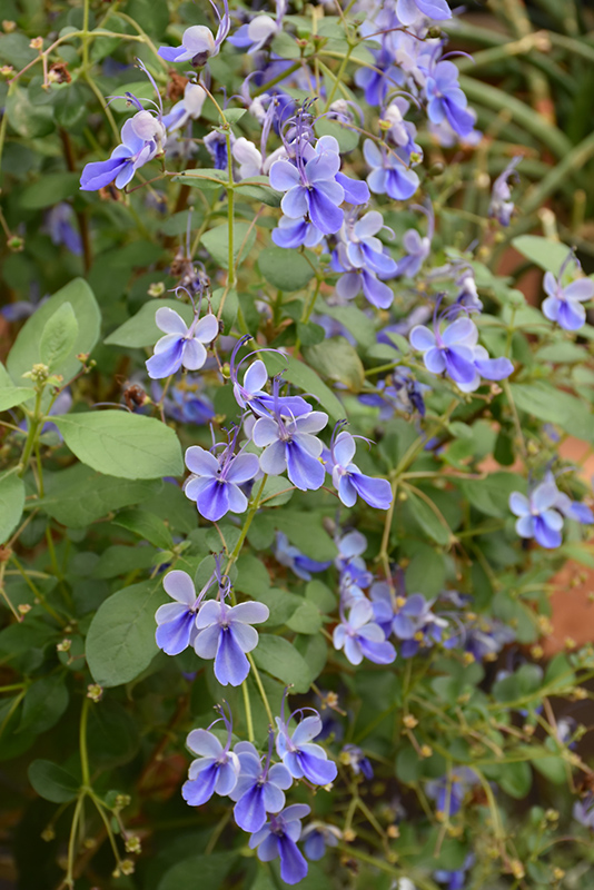 Blue Butterfly Plant (Clerodendrum ugandense) at All Seasons Nursery