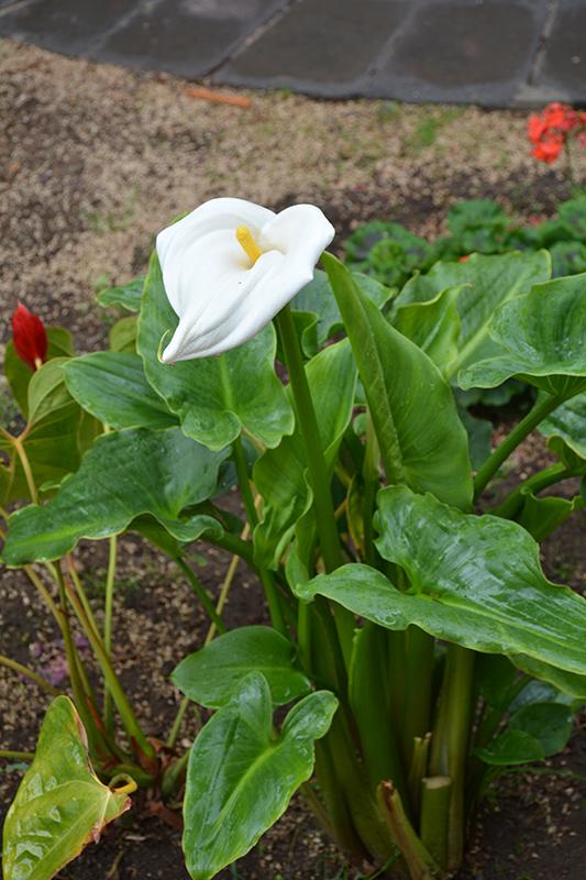 Calla Lily (Zantedeschia aethiopica) at All Seasons Nursery