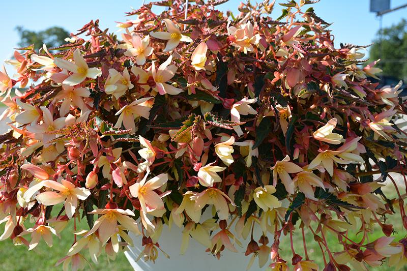 Bossa Nova Yellow Begonia (Begonia boliviensis 'Bossa Nova Yellow') at All Seasons Nursery