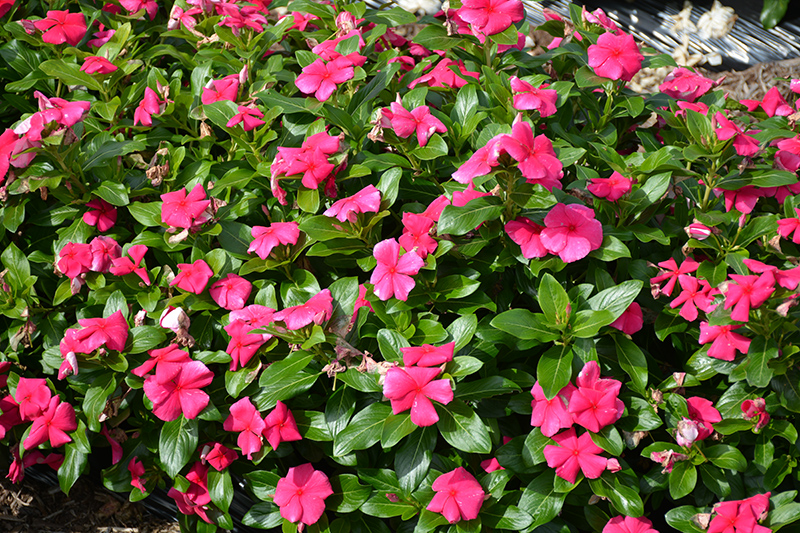Cora XDR Punch (Catharanthus roseus 'Cora XDR Punch') at All Seasons Nursery