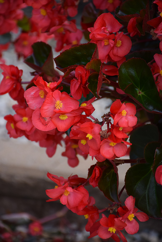 Megawatt Red Bronze Leaf Begonia (Begonia 'Megawatt Red Bronze Leaf') at All Seasons Nursery