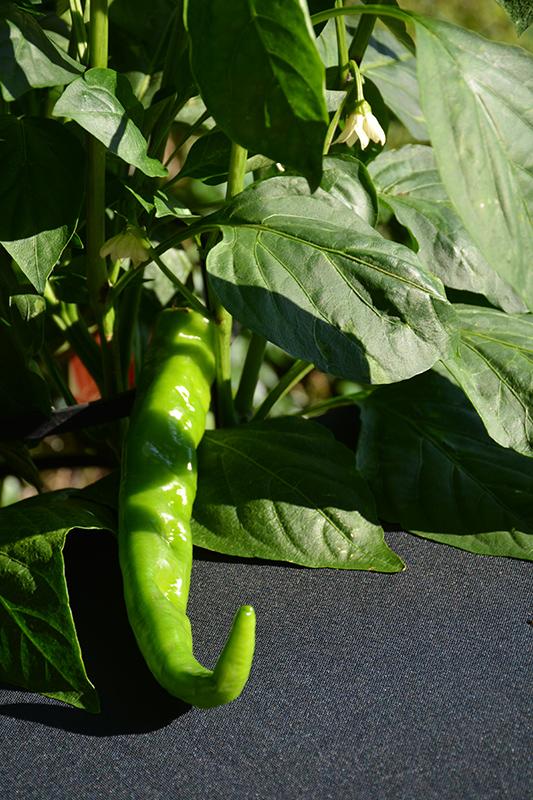 Sweet Cayenne Pepper (Capsicum annuum 'Sweet Cayenne') at All Seasons Nursery