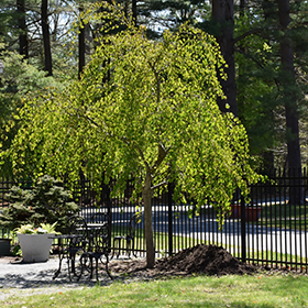 Ornamental Tree Photo