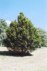 American Hornbeam (Carpinus caroliniana) at All Seasons Nursery