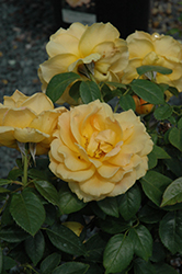 Easy Going™ Rose (tree form) (Rosa 'HARflow (tree form)') at All Seasons Nursery