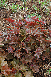 Palace Purple Coral Bells (Heuchera micrantha 'Palace Purple') at All Seasons Nursery