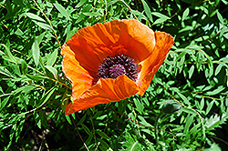 Oriental Poppy (Papaver orientale) at All Seasons Nursery