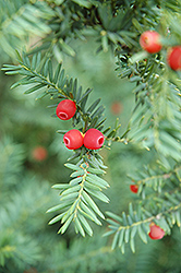 Japanese Yew (Taxus cuspidata) at All Seasons Nursery