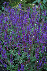 May Night Sage (Salvia x sylvestris 'May Night') at All Seasons Nursery